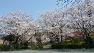 例年はこんな桜が咲いてます